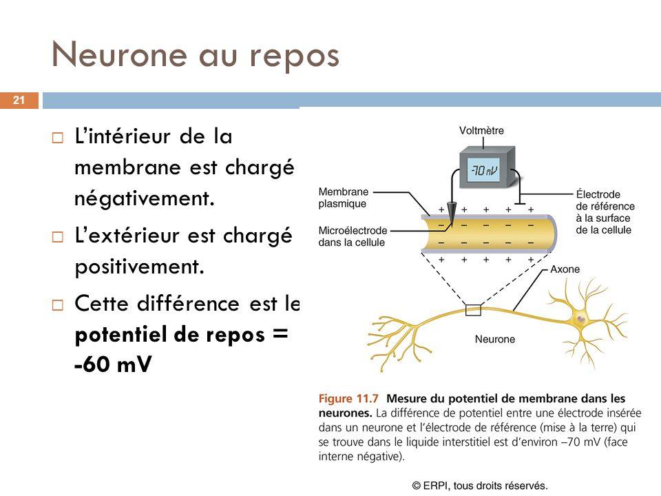 Neurone au repos Lintérieur de la membrane est chargé négativement. Lextérieur est chargé positivement. Cette différence est le potentiel de repos = -