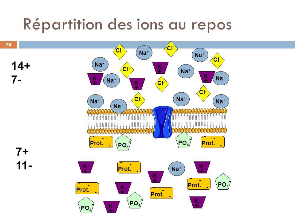 Répartition des ions au repos Na + Cl - Prot. - - - - - - - - - - - - - - - - - - K+K+ K+K+ K+K+ K+K+ K+K+ K+K+ K+K+ K+K+ K+K+ PO 4 - Na + K+K+ 14+ 7-