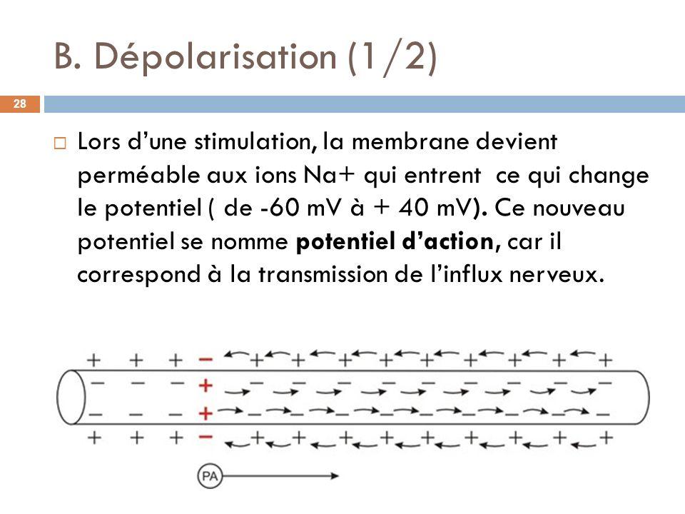 B. Dépolarisation (1/2) Lors dune stimulation, la membrane devient perméable aux ions Na+ qui entrent ce qui change le potentiel ( de -60 mV à + 40 mV