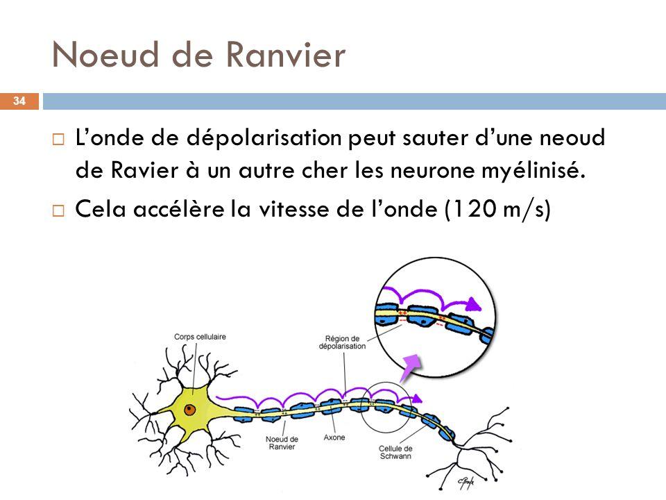 Noeud de Ranvier Londe de dépolarisation peut sauter dune neoud de Ravier à un autre cher les neurone myélinisé. Cela accélère la vitesse de londe (12