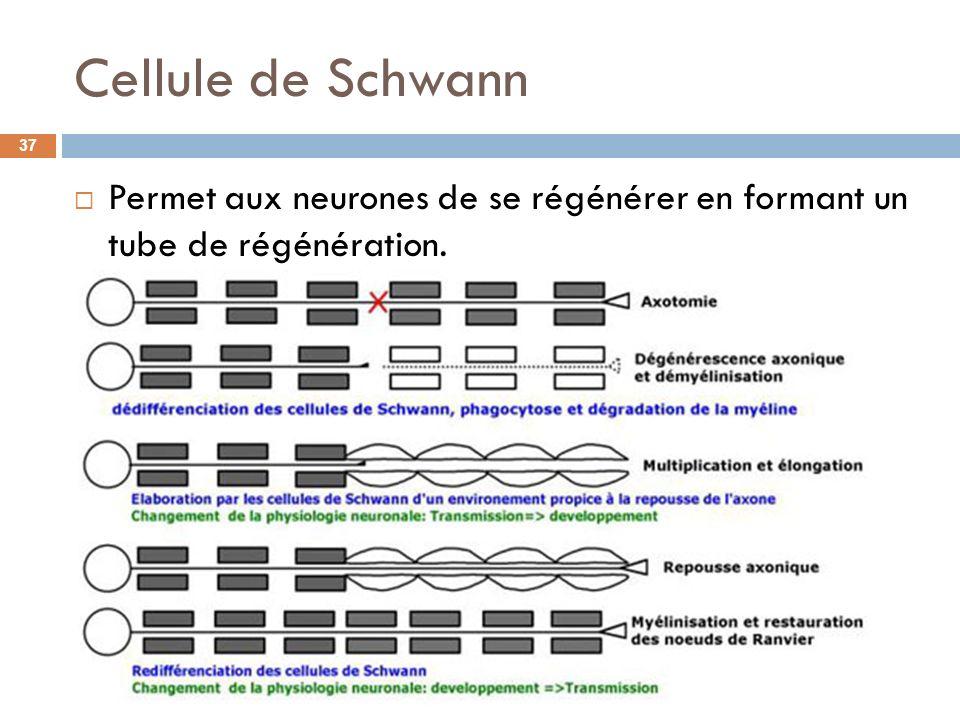 Cellule de Schwann Permet aux neurones de se régénérer en formant un tube de régénération. 37