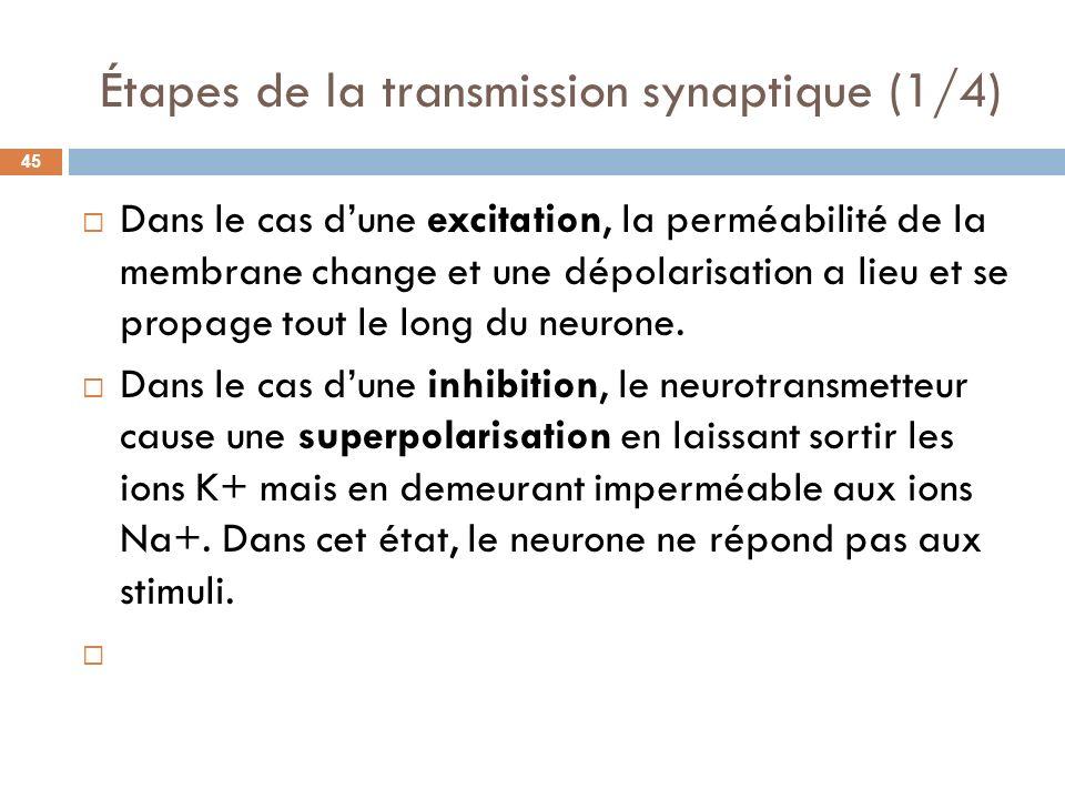Étapes de la transmission synaptique (1/4) Dans le cas dune excitation, la perméabilité de la membrane change et une dépolarisation a lieu et se propa
