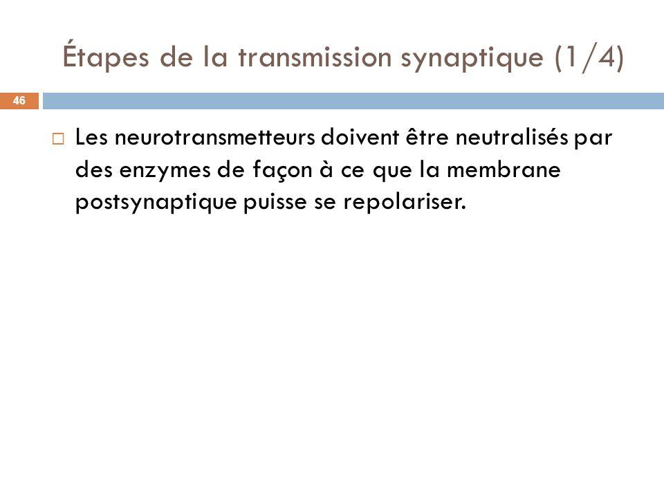 Étapes de la transmission synaptique (1/4) Les neurotransmetteurs doivent être neutralisés par des enzymes de façon à ce que la membrane postsynaptiqu