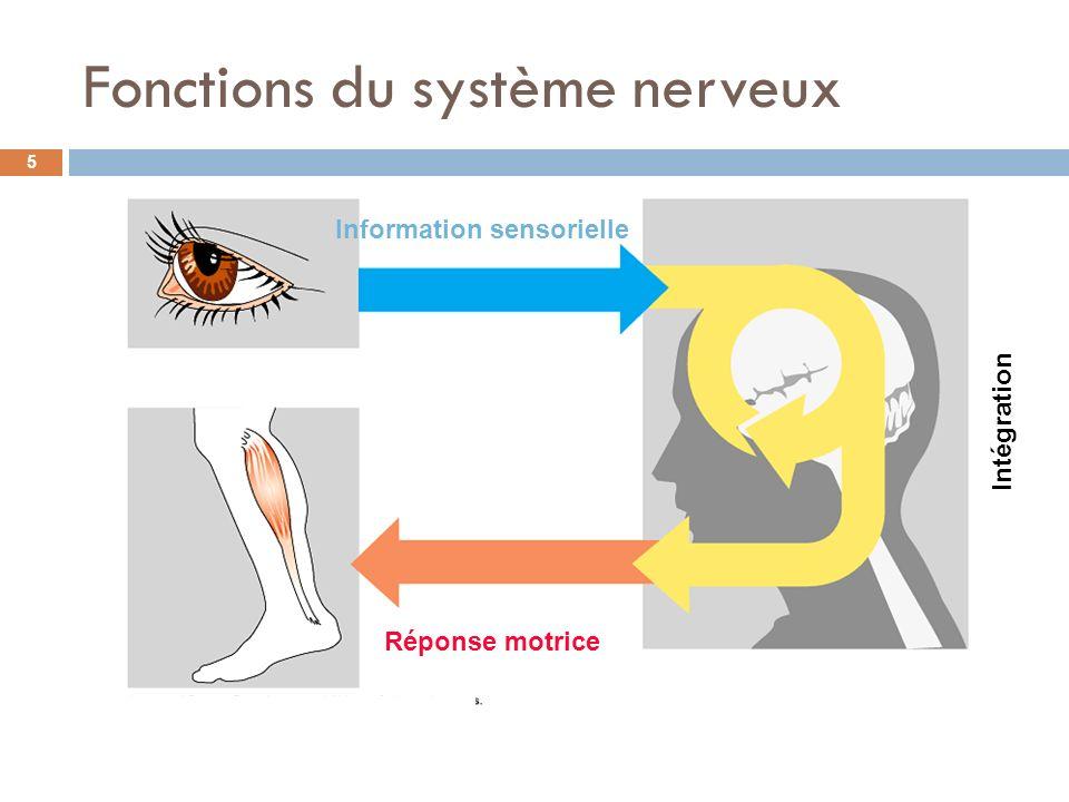 Information sensorielle Intégration Réponse motrice Fonctions du système nerveux 5