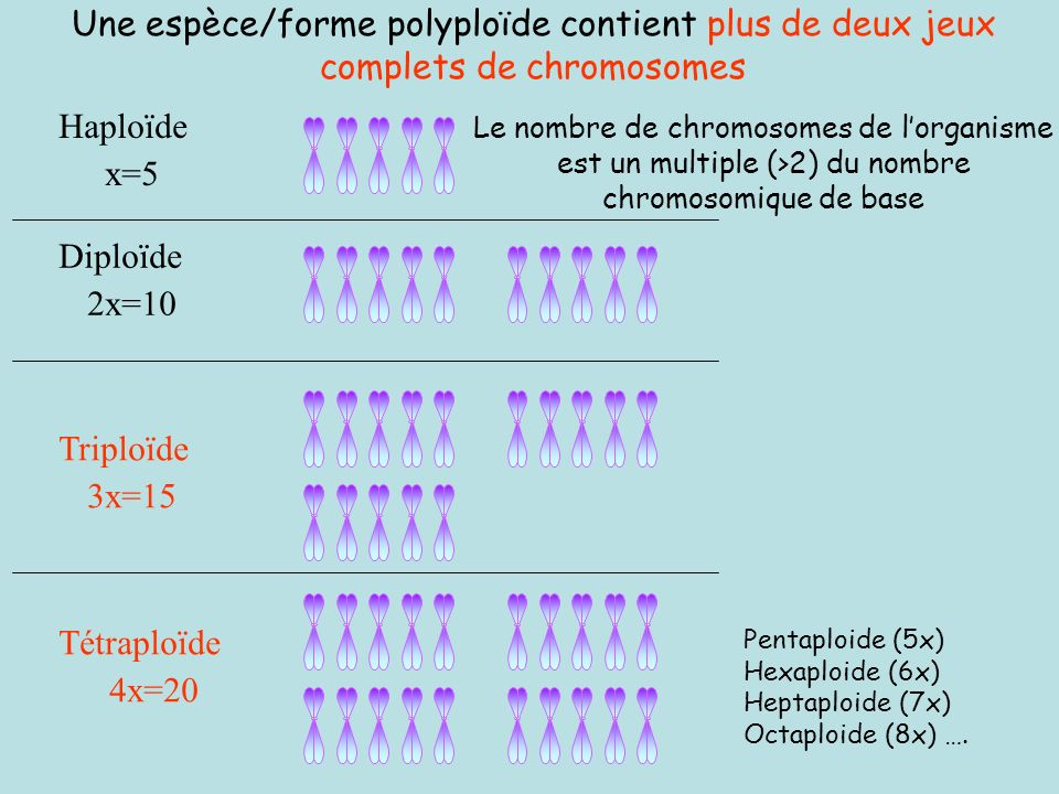 Exemple: Il y a plus dappariements entre homéologues chez les plantes nullisomiques que chez leur correspondants euploides XY-1 Appariement homéologue Faible appariement homéologue pcg XYXY Euploïde : lorsque le caryotype est composé d assortiments haploïdes complets de chromosomes.