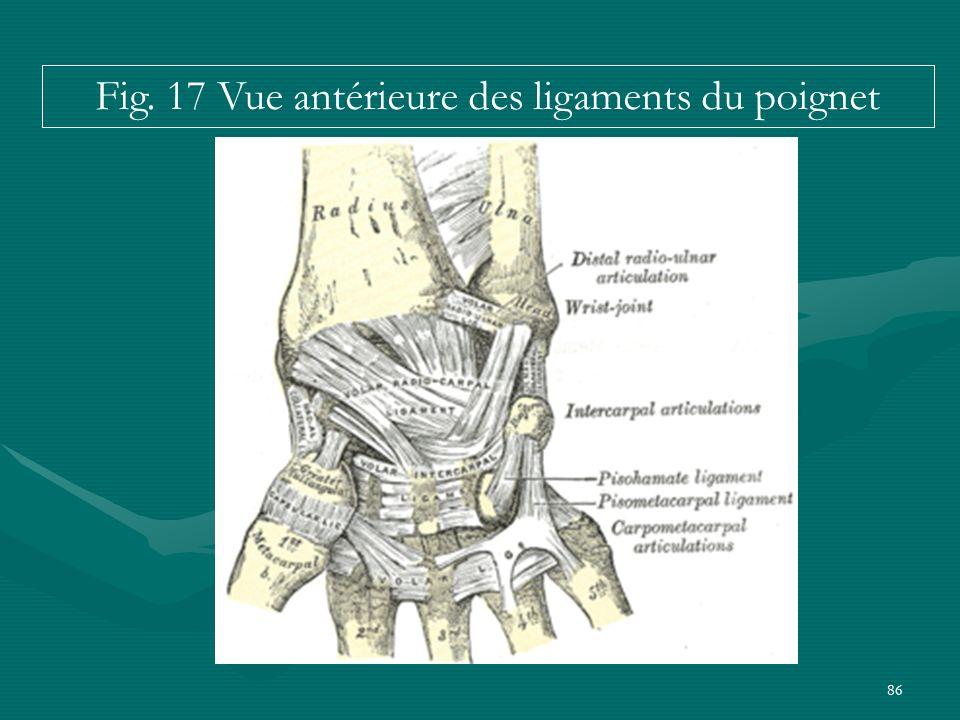 86 Fig. 17 Vue antérieure des ligaments du poignet
