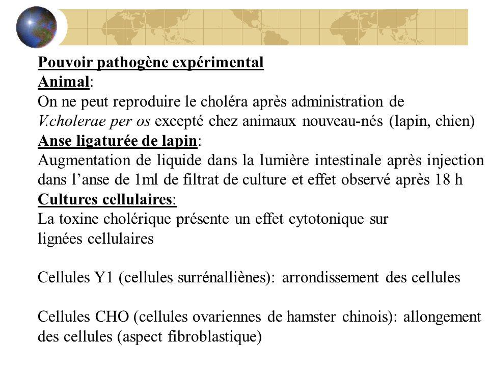 Pouvoir pathogène expérimental Animal: On ne peut reproduire le choléra après administration de V.cholerae per os excepté chez animaux nouveau-nés (la
