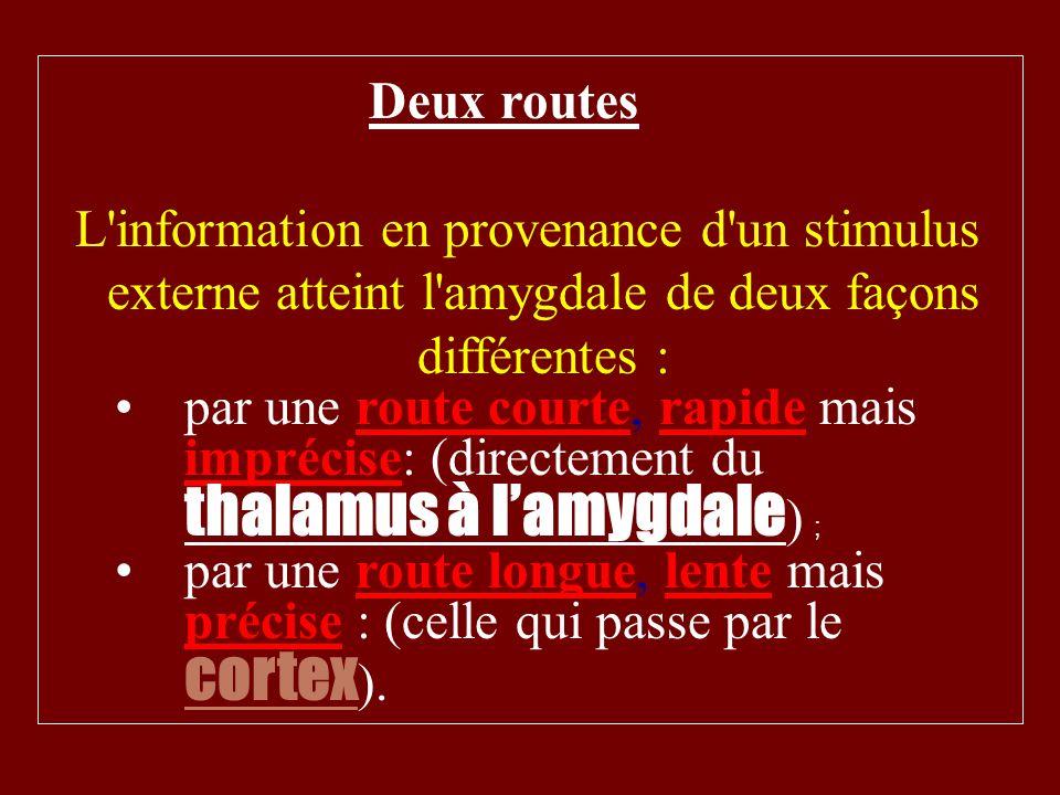 Deux routes L'information en provenance d'un stimulus externe atteint l'amygdale de deux façons différentes : par une route courte, rapide mais impréc