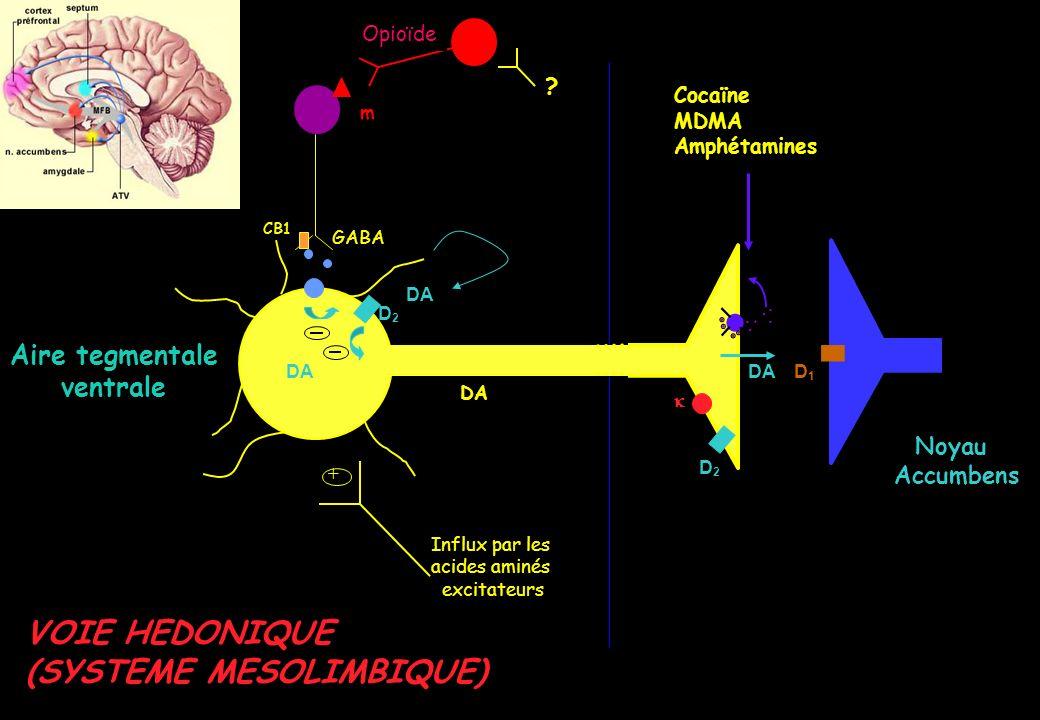 Métabolisme hépatique Demi-vie délimination de 7 jours Dépistage prolongé dans les urines (jusquà 30 jours) Plusieurs récepteurs cannabinoïdes (2 clonés): CB1: SNC (ganglions base, hippocampe, cervelet, cortex frontal) Coordination mouvements, mémoire, processus cognitifs Absence CB1 dans le TC = absence toxicité aiguë vitale Modulation du système endocannabinoïde central potentiel thérapeutique Augmentation de lactivité dopaminergique des voies mésolimbiques renforcement positif de lappétence aux drogues Un principe actif: le THC (tétrahydrocannabinol)