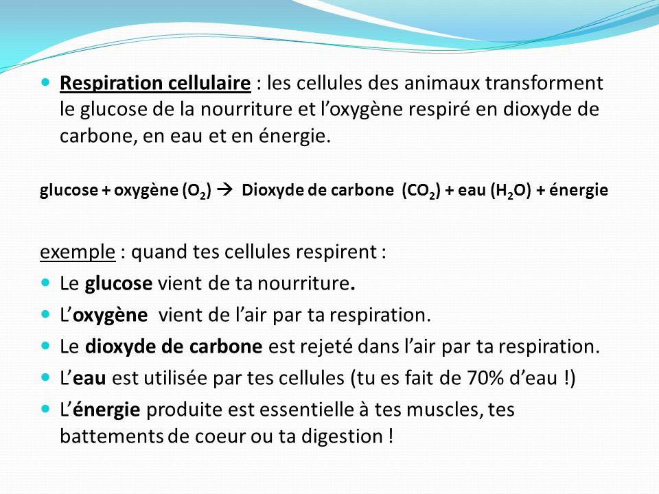 Respiration cellulaire : les cellules des animaux transforment le glucose de la nourriture et loxygène respiré en dioxyde de carbone, en eau et en éne