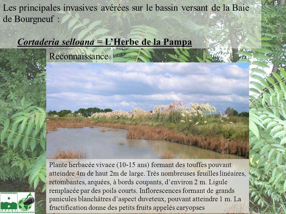 Reconnaissance Plante herbacée vivace (10-15 ans) formant des touffes pouvant atteindre 4m de haut 2m de large. Très nombreuses feuilles linéaires, re