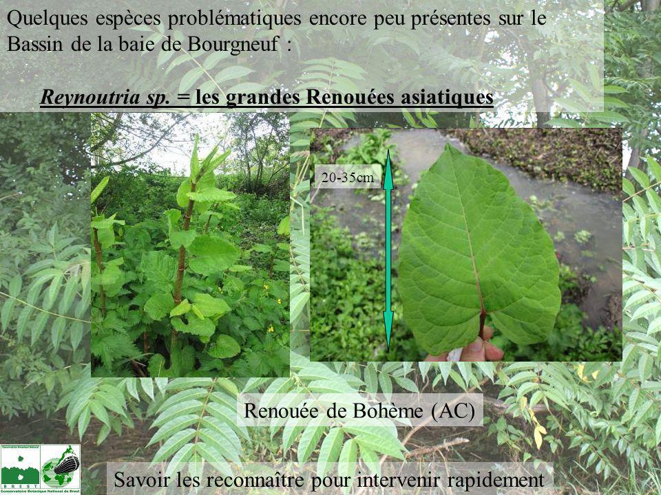 Renouée de Bohème (AC) 20-35cm Quelques espèces problématiques encore peu présentes sur le Bassin de la baie de Bourgneuf : Reynoutria sp. = les grand
