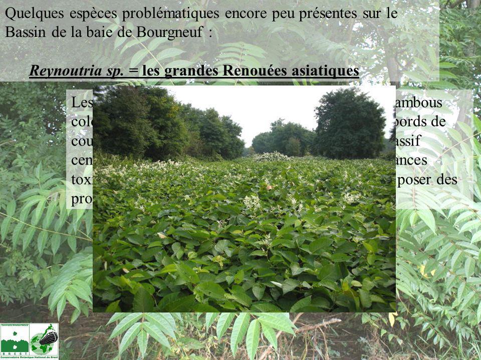 Quelques espèces problématiques encore peu présentes sur le Bassin de la baie de Bourgneuf : Reynoutria sp. = les grandes Renouées asiatiques Les 3 pl