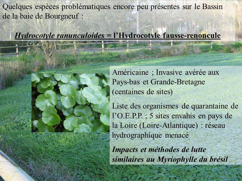 Quelques espèces problématiques encore peu présentes sur le Bassin de la baie de Bourgneuf : Hydrocotyle ranunculoides = lHydrocotyle fausse-renoncule