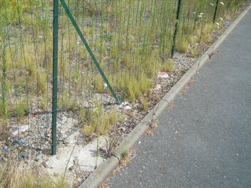 Choix dune espèce potentiellement invasive, fréquemment plantée sur le Bassin de la baie de Bourgneuf : Nassella tenuissima (Stipa tenuissima) pony ta