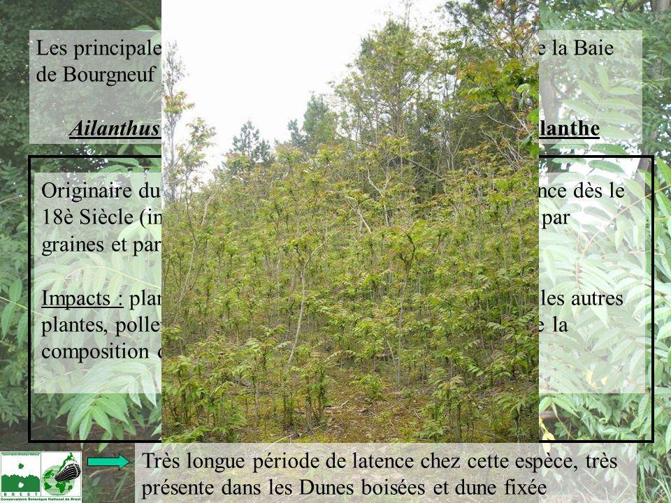 Les principales invasives avérées sur le bassin versant de la Baie de Bourgneuf : Ailanthus altissima = le faux-vernis du japon, lAilanthe Méthodes de lutte : Ne pas faire : coupe seule (vigueur et drageonnement amplifiés par la coupe) Arrachage manuel des semis et jeunes plants (mettre des gants !) Annelage partiel des gros pieds en début dété (3- 5cm de large sur 85% de la circonférence).