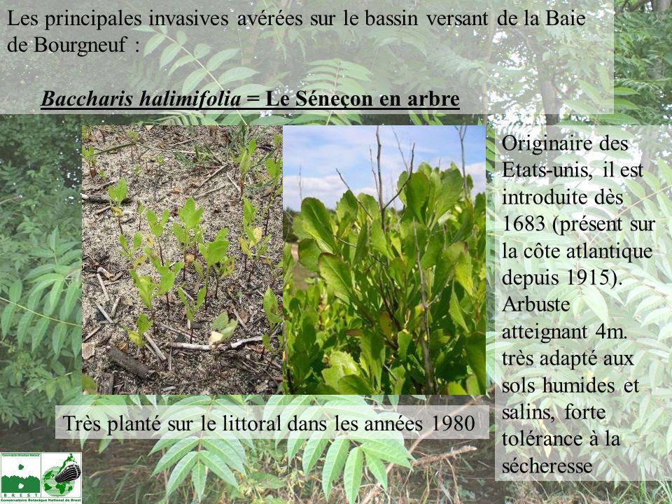 Les feuilles de la base sont losangiques avec de 3 à 5 dents de chaque côté.