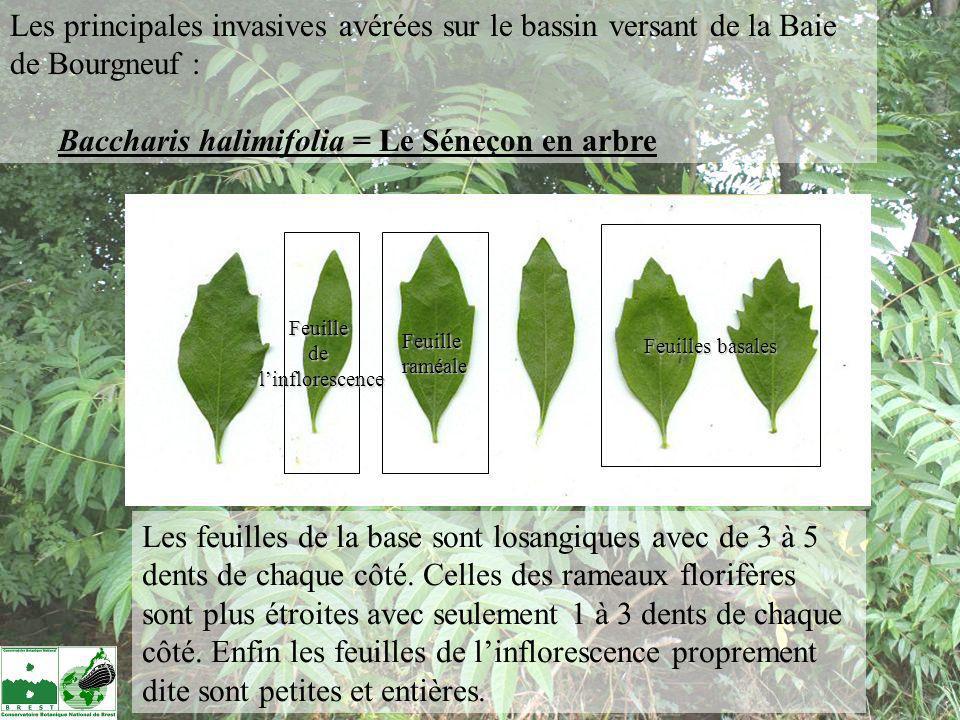 Les feuilles de la base sont losangiques avec de 3 à 5 dents de chaque côté. Celles des rameaux florifères sont plus étroites avec seulement 1 à 3 den