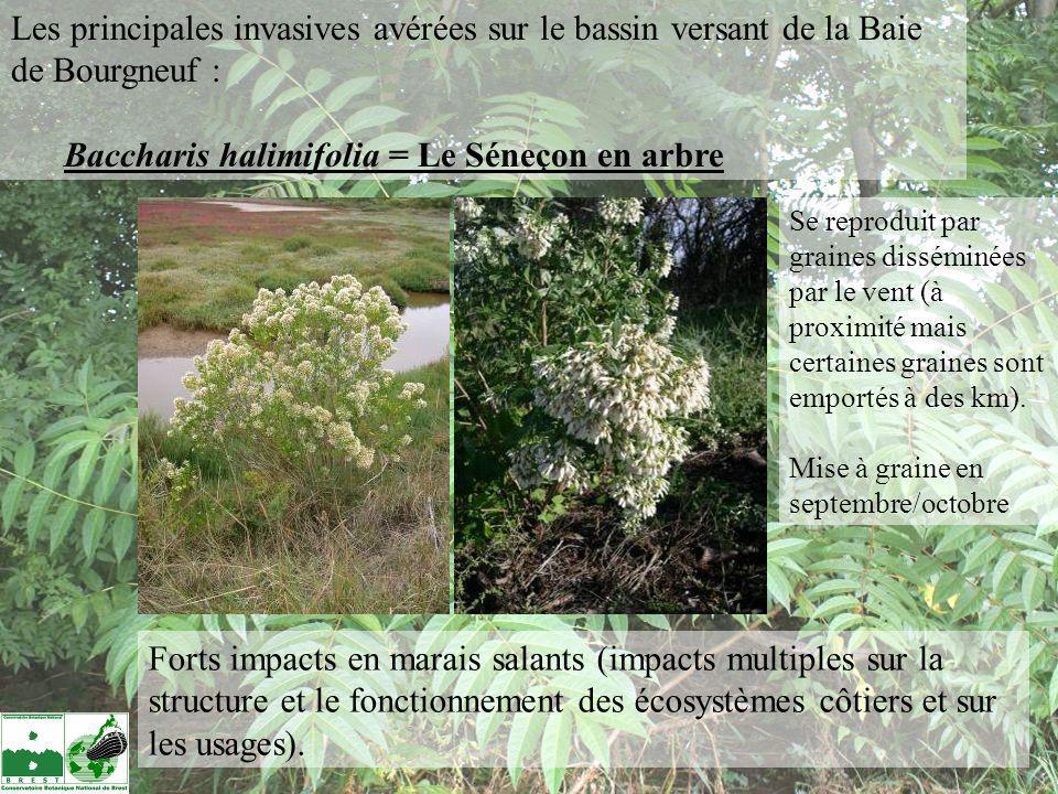 Choix dune espèce potentiellement invasive, fréquemment plantée sur le Bassin de la baie de Bourgneuf : Nassella tenuissima (Stipa tenuissima) pony tails = le Stipe cheveux danges Deschampsia flexuosa et caespitosa Plantes de substitution