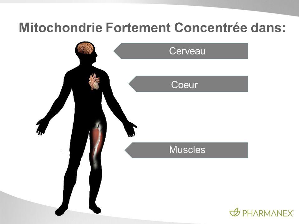 Cerveau Coeur Muscles Mitochondrie Fortement Concentrée dans: