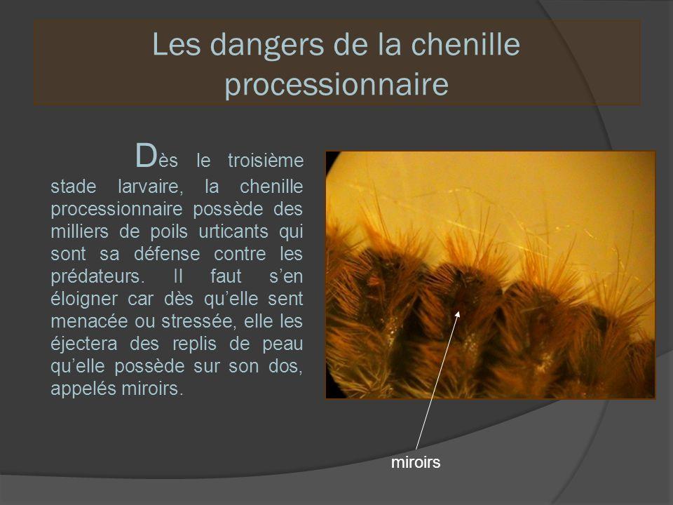 Les dangers de la chenille processionnaire D ès le troisième stade larvaire, la chenille processionnaire possède des milliers de poils urticants qui s