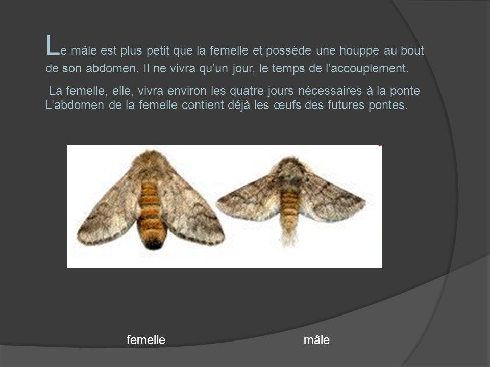 LA PONTE L a femelle effectuera sa ponte sur deux aiguilles de pin, entre 80 à 300 œufs.
