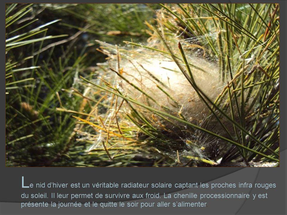 L e nid dhiver est un véritable radiateur solaire captant les proches infra rouges du soleil. Il leur permet de survivre aux froid. La chenille proces