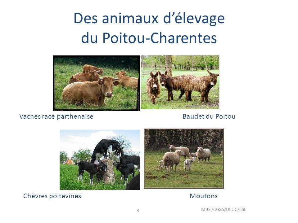 Des animaux délevage du Poitou-Charentes MBS /CG86/UEUC/ESE 8 Vaches race parthenaiseBaudet du Poitou Chèvres poitevinesMoutons