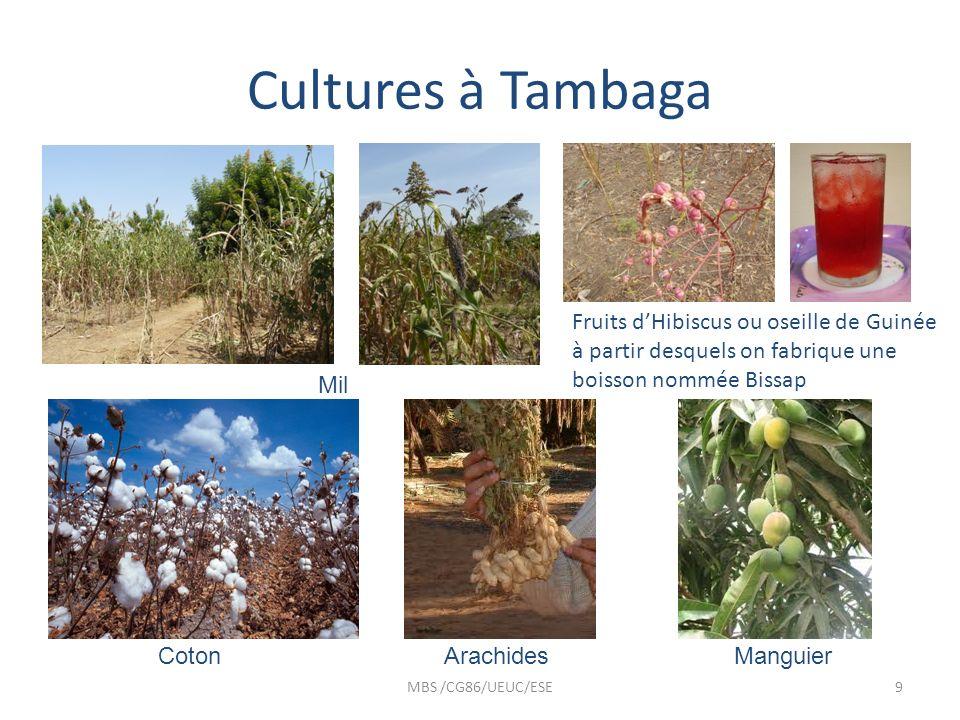 Cultures à Tambaga MBS /CG86/UEUC/ESE9 Mil Fruits dHibiscus ou oseille de Guinée à partir desquels on fabrique une boisson nommée Bissap CotonArachide