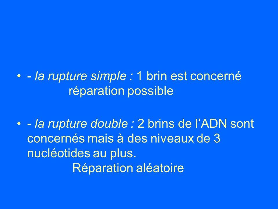 - la rupture simple : 1 brin est concerné réparation possible - la rupture double : 2 brins de lADN sont concernés mais à des niveaux de 3 nucléotides