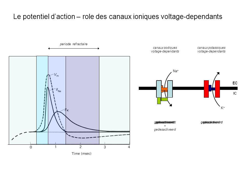 Le potentiel daction – role des canaux ioniques voltage-dependants EC IC Na + EC IC EC IC K+K+ canaux potassiques voltage-dependants canaux sodiques v