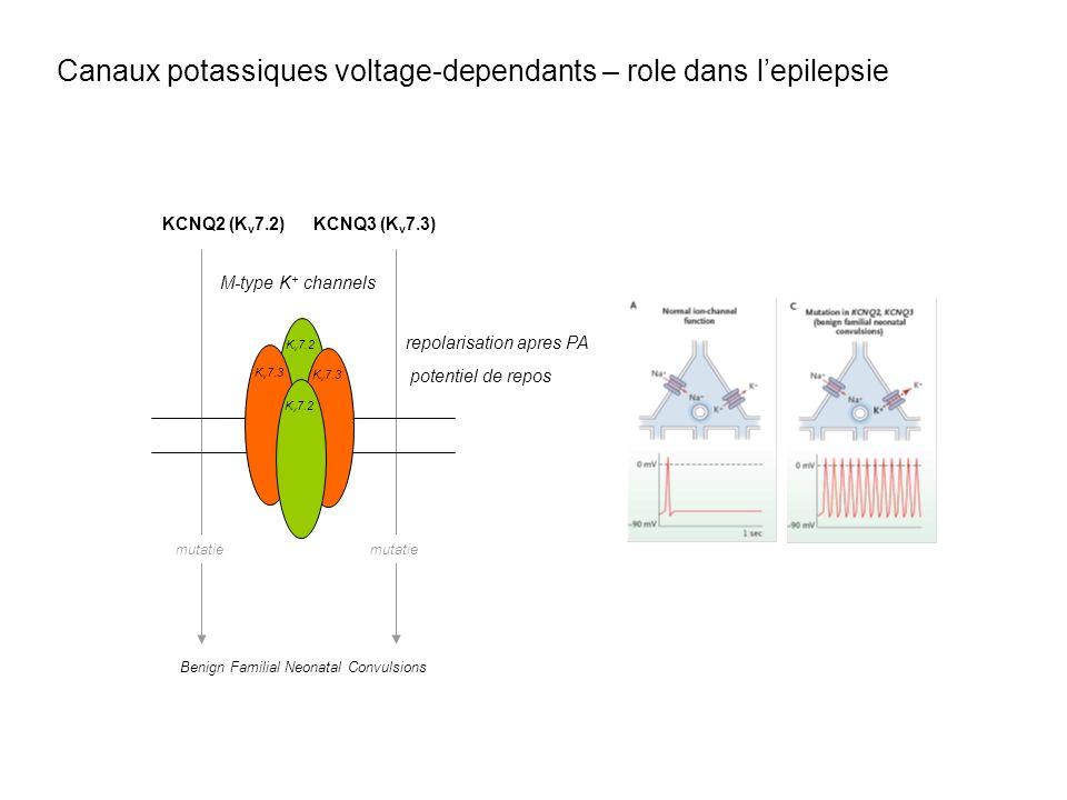 Benign Familial Neonatal Convulsions mutatie KCNQ2 (K v 7.2)KCNQ3 (K v 7.3) M-type K + channels K v 7.2 K v 7.3 K v 7.2 repolarisation apres PA potent
