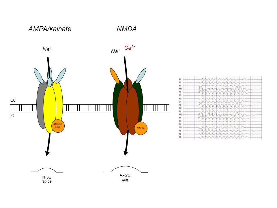 Na + Ca 2+ Na + AMPA/kainateNMDA PPSE rapide PPSE lent EC IC domoic acid NMDA