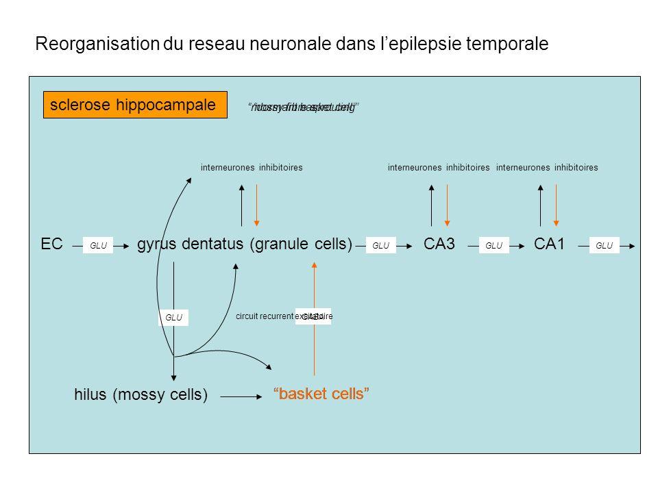 gyrus dentatus (granule cells) hilus (mossy cells) ECCA3CA1 basket cells GLU GABA GLU interneurones inhibitoires sclerose hippocampale GLU basket cell