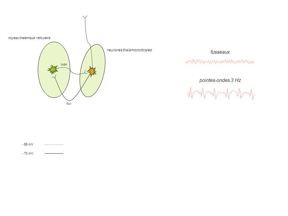 IPSP - 70 mV - 55 mV T-type VGCC T-type VGCC Ca 2+ K + Cl - noyeau thalamique reticulaire neurones thalamocorticales GABA GLU pointes-ondes 3 Hz fusse
