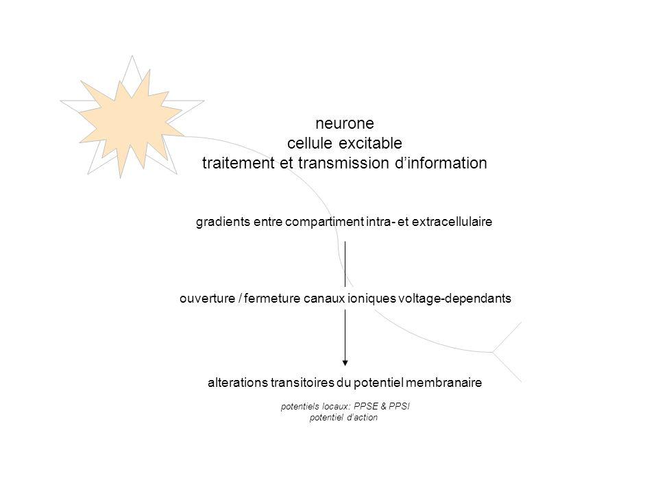 3 Na + 2 K + ATP Gradients a travers la membrane dun neurone en repos K+K+ potentiel de repos: - 70 mV Na + K+K+ Na + extracellulaire K + intracellulaire gradiënt electrique = IC negatif