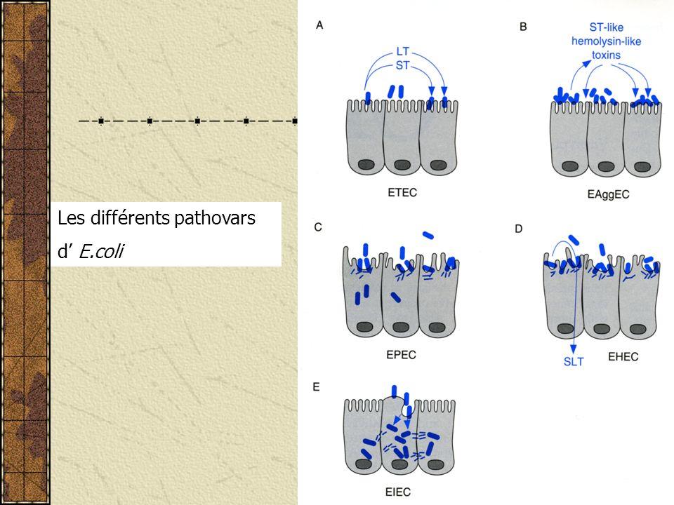Les différents pathovars d E.coli