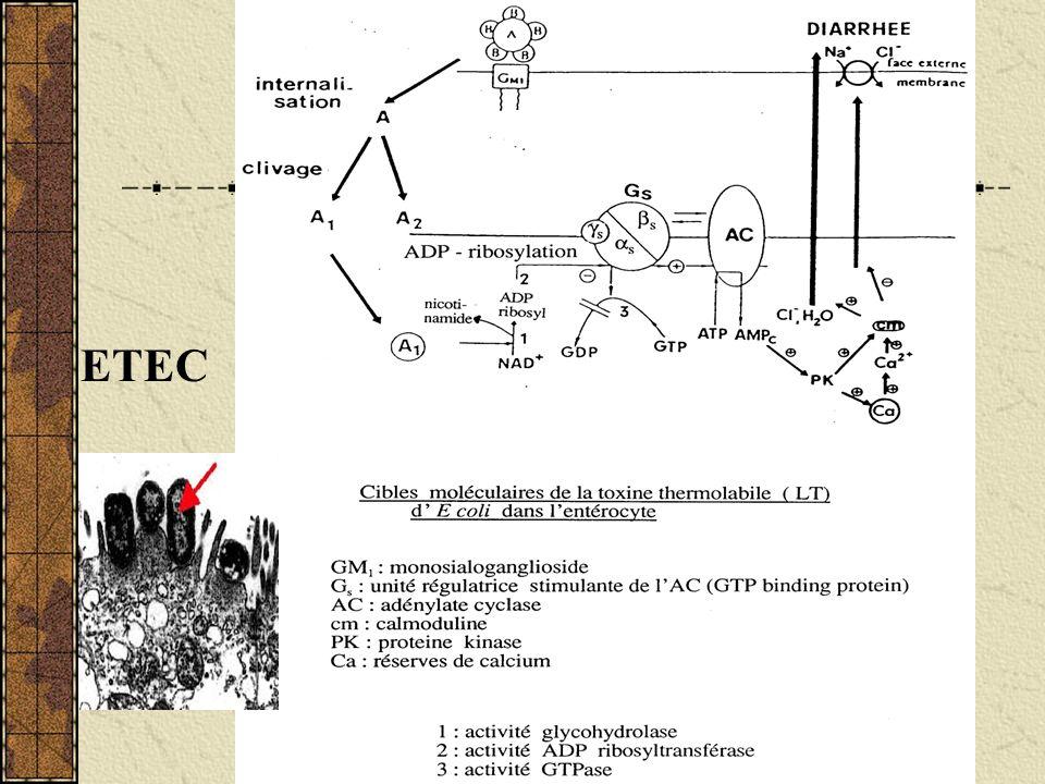 E.coli EIEC : cf cours shigelle E.coli EHEC: vérotoxine Effet cytotoxique sur cellules de rein de singe (cellules véro) Toxine shiga-like