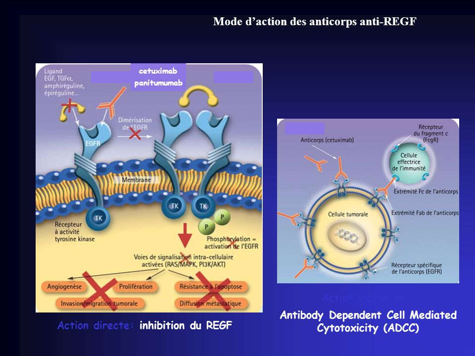 Mode daction des anticorps anti-REGF Action directe: inhibition du REGF panitumumab cetuximab Action indirecte: Antibody Dependent Cell Mediated Cytot