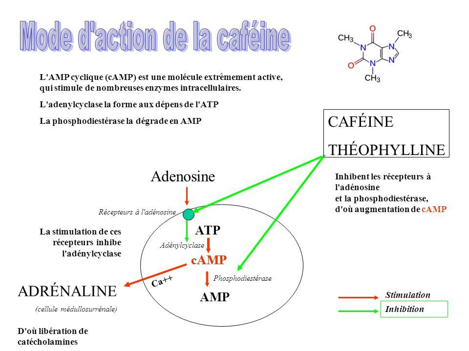 AMP L'AMP cyclique (cAMP) est une molécule extrêmement active, qui stimule de nombreuses enzymes intracellulaires. L'adenylcyclase la forme aux dépens