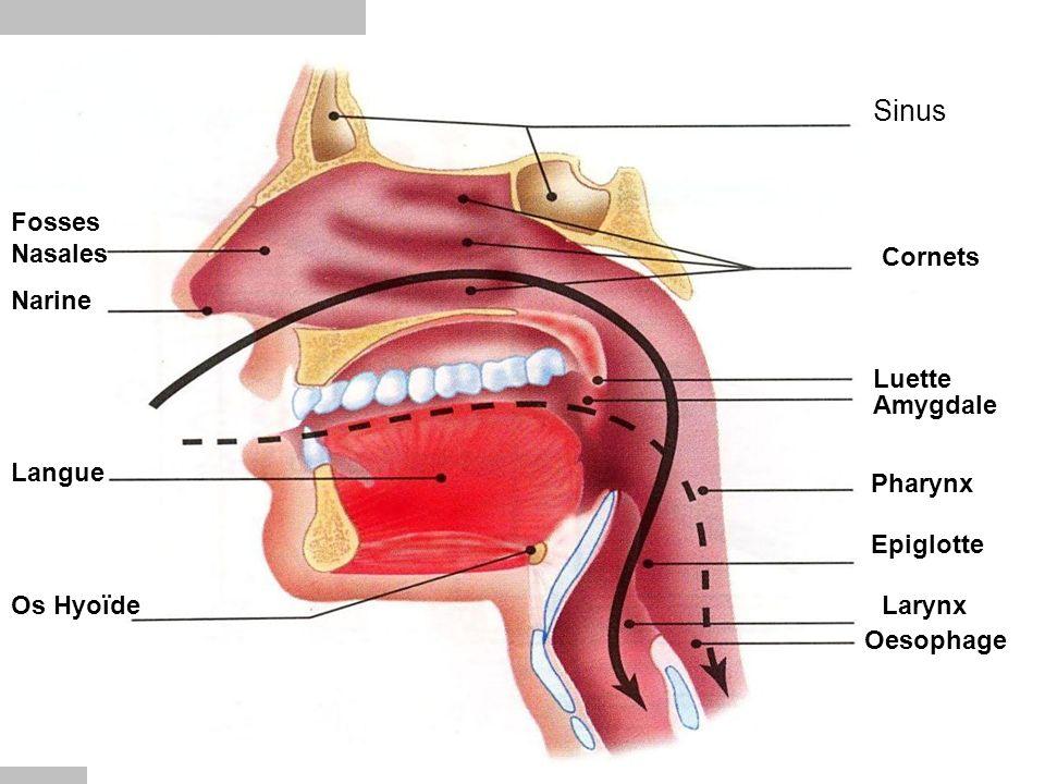 Sinus Cornets Luette Amygdale Pharynx Epiglotte Larynx Oesophage Fosses Nasales Narine Langue Os Hyoïde