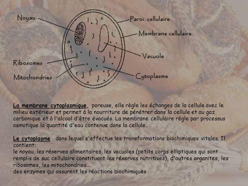 La membrane cytoplasmique, poreuse, elle règle les échanges de la cellule avec le milieu extérieur et permet à la nourriture de pénétrer dans la cellu