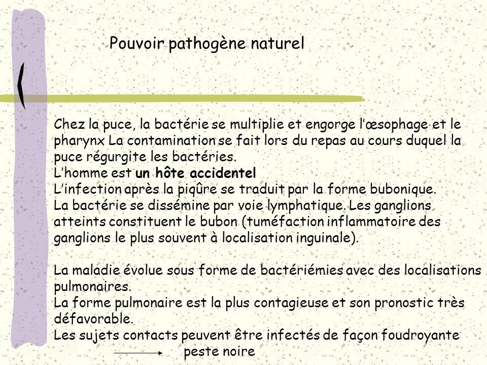 Pouvoir pathogène naturel Chez la puce, la bactérie se multiplie et engorge lœsophage et le pharynx La contamination se fait lors du repas au cours du