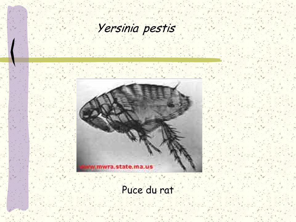 Yersinia pestis Puce du rat