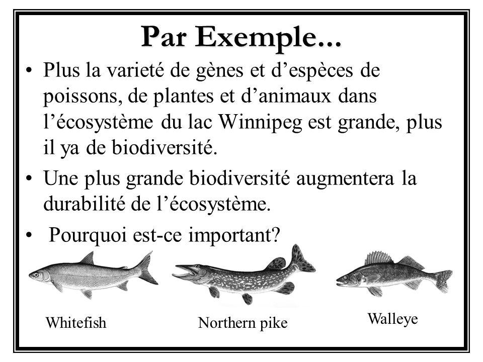 Par Exemple... WhitefishNorthern pike Walleye Plus la varieté de gènes et despèces de poissons, de plantes et danimaux dans lécosystème du lac Winnipe