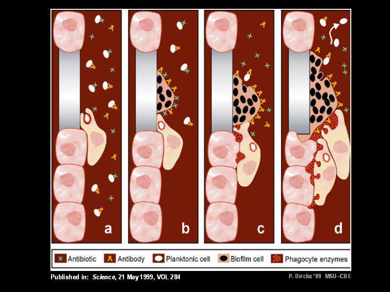 Rôle du biofilm dans linfection Réservoir protégeant les germes pathogènes Forme une barrière à laction des antibiotiques Il existe une relation direc