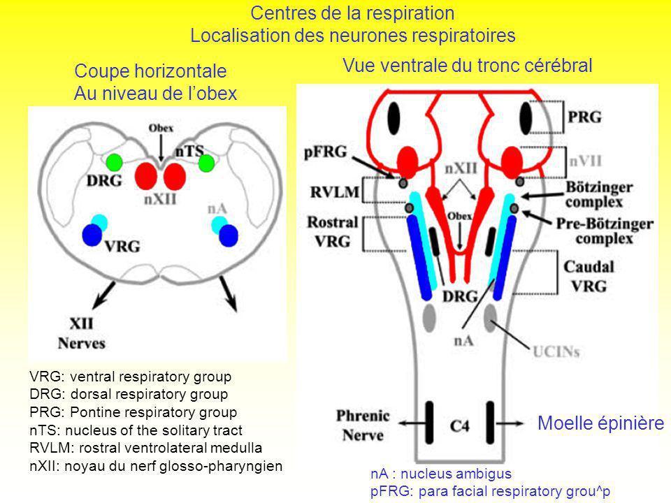 Centres de la respiration Localisation des neurones respiratoires VRG: ventral respiratory group DRG: dorsal respiratory group PRG: Pontine respirator