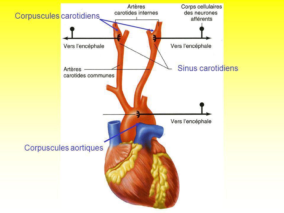 Sinus carotidiens Corpuscules aortiques Corpuscules carotidiens