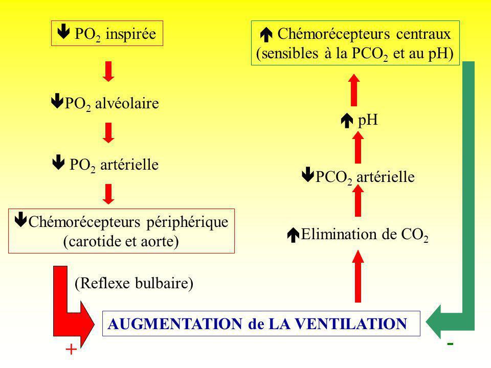 PO 2 inspirée PO 2 alvéolaire PO 2 artérielle Chémorécepteurs périphérique (carotide et aorte) Chémorécepteurs centraux (sensibles à la PCO 2 et au pH
