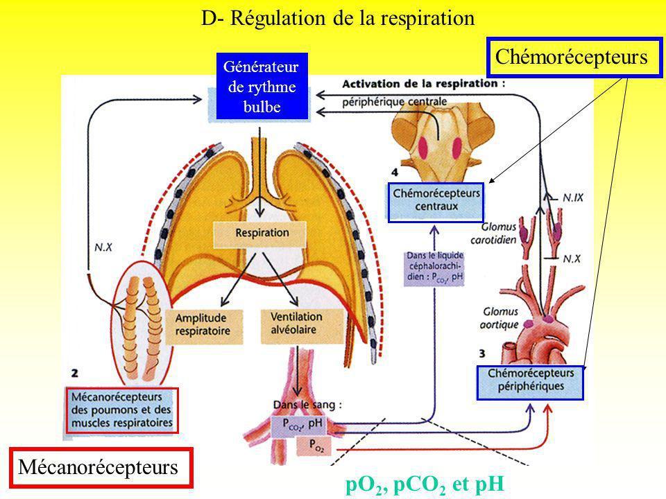 Générateur de rythme bulbe D- Régulation de la respiration Mécanorécepteurs Chémorécepteurs pO 2, pCO 2 et pH